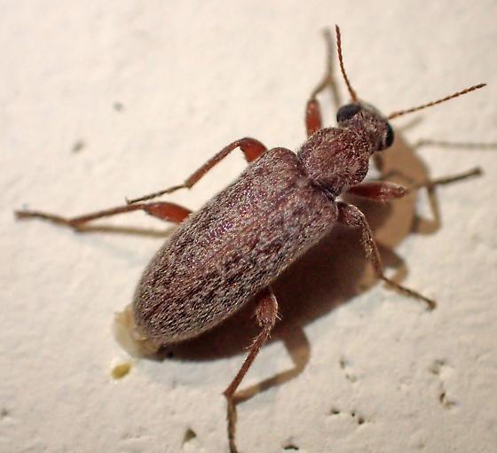 Red beetle - Stereopalpus - female