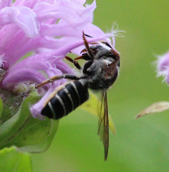 Vespula, Dolchivespula, neither? - Megachile pugnata - female
