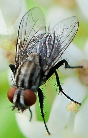 Sarcophagidae - Flesh Flies Subfamily Sarcophaginae