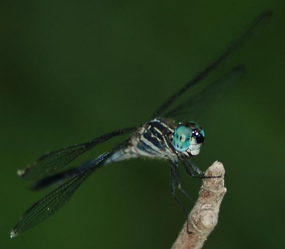 Gray-waisted Skimmer, male, side view - Cannaphila insularis - male