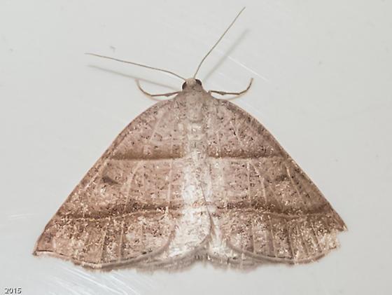 Northern Petrophora - Hodges#6804 (Petrophora subaequaria) - Petrophora subaequaria