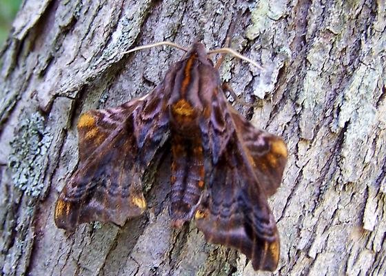 Small-eyed Sphinx Moth - Paonias myops - female