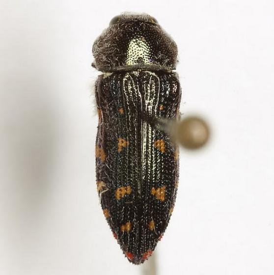 Acmaeodera uvaldensis Knull - Acmaeodera uvaldensis