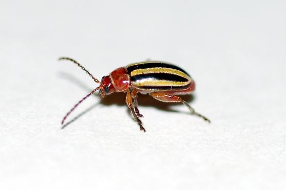 Is this a Three-lined Potato Beetle? Found on shoe at dusk. - Disonycha admirabila