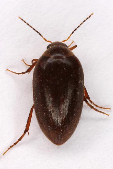 unknown tiny beetle - Euscaphurus spinipes
