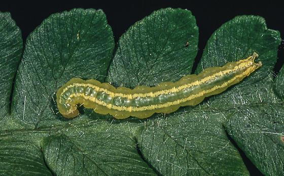Pyraustine crambid - Anania quebecensis