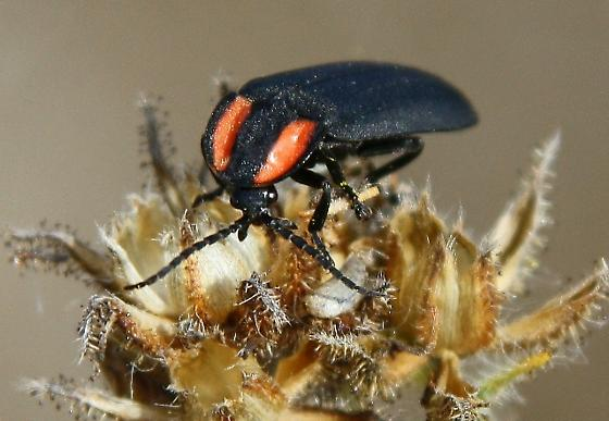 black beetle with 2 orange stripes - Ellychnia megista