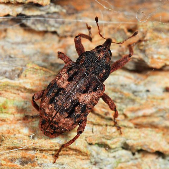 weevil - Cryptorhynchus fuscatus - female