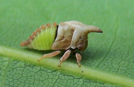 Campylenchia latipes
