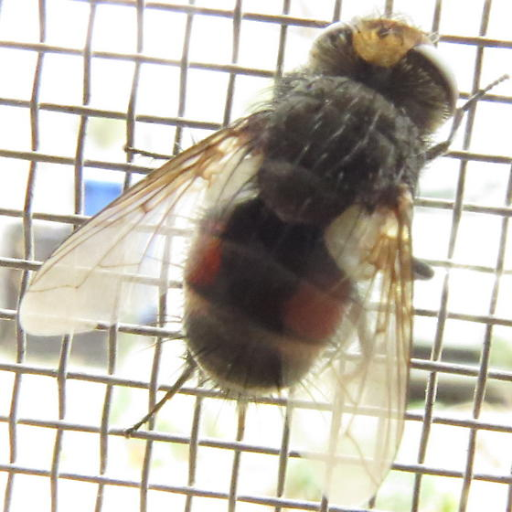 latina spanish fly