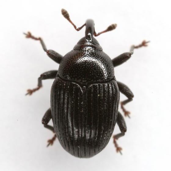 Stethobaris incompta Casey - Stethobaris incompta
