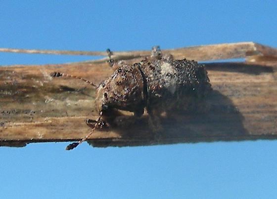 Weevil - Toxonotus cornutus
