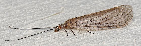 fishfly - Neohermes - male