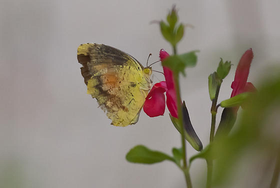 Butterfly ID? - Abaeis nicippe