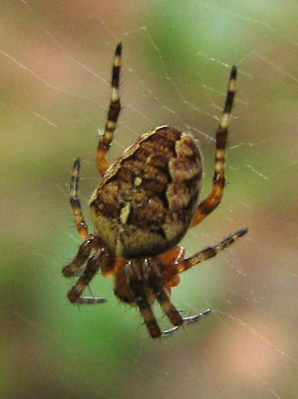 Vashon BioBlitz 2012 - Araneus diadematus? - Araneus diadematus