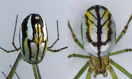 Twins! - Leucauge argyra - female