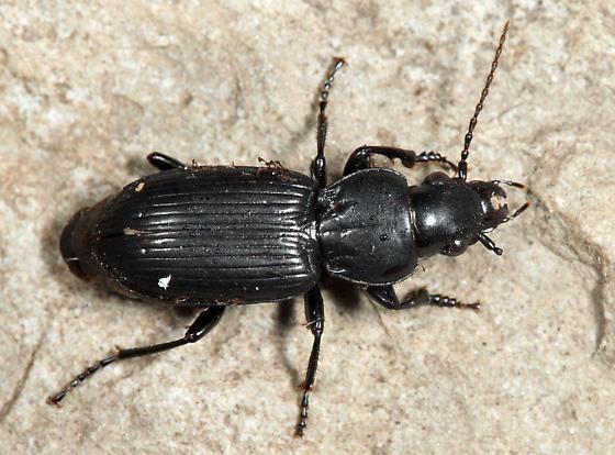 Carabid - Pterostichus corvinus - male