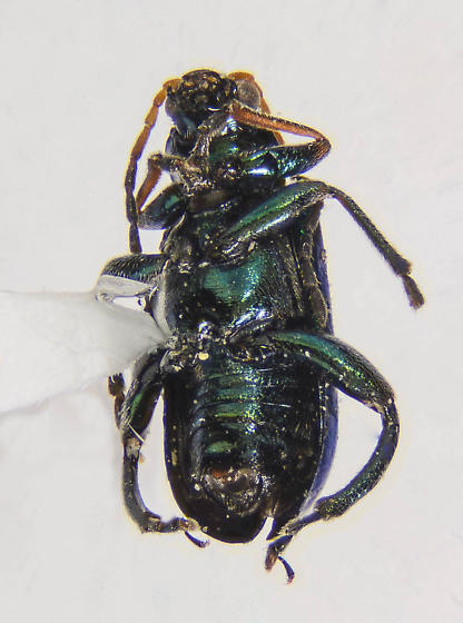 Small Chrysomelid of sorts... - Scelolyperus schwarzii