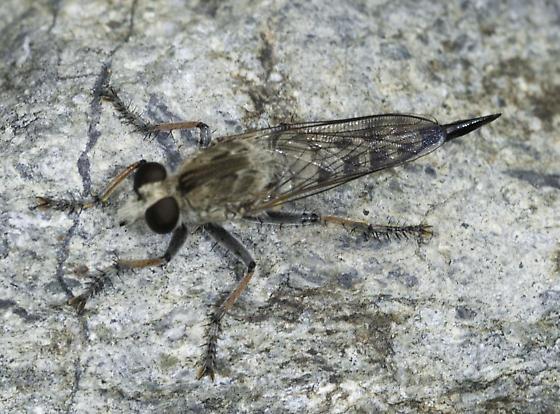 Robber fly - Efferia albibarbis - female