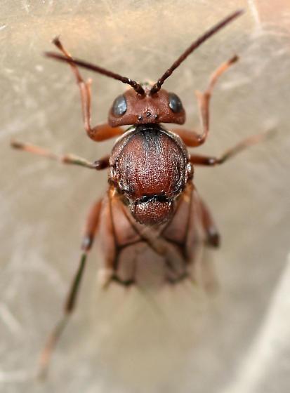 oak gall wasp - Andricus