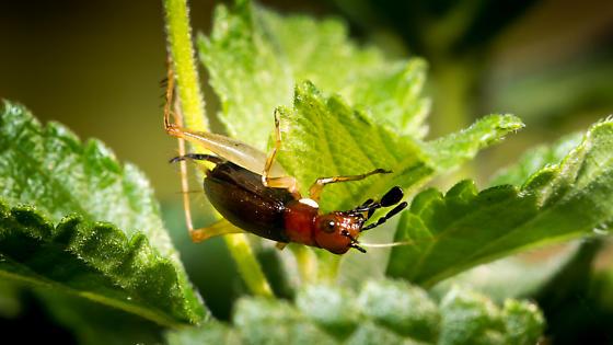 ID Insect - Phyllopalpus pulchellus - female