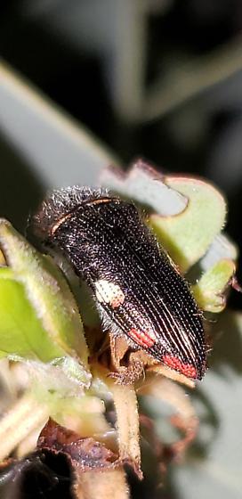 Acmaeodera plagiaticauda - female
