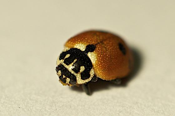 Unknown ladybug pic #1 - Hippodamia variegata