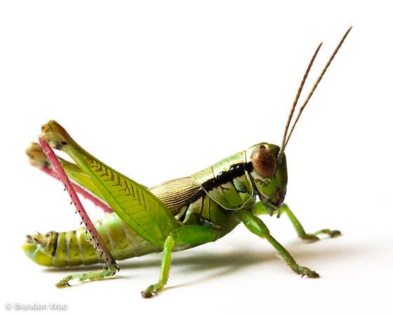 Eotettix signatus - male