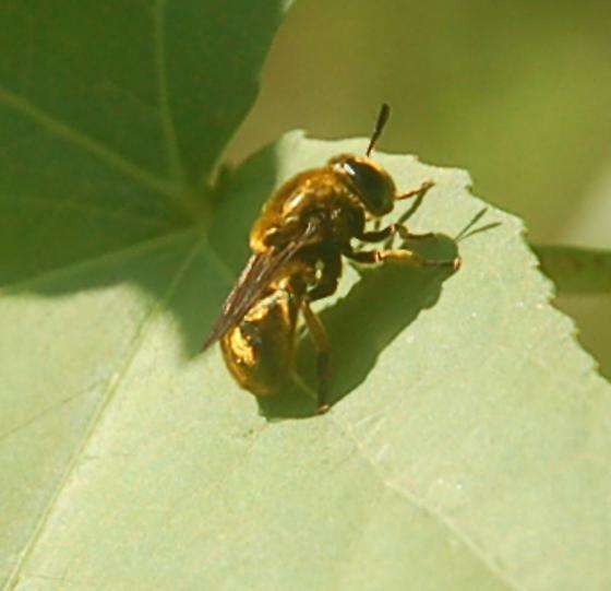 Leigh Farm Park golden bee 2017 2 - Microdon aurulentus
