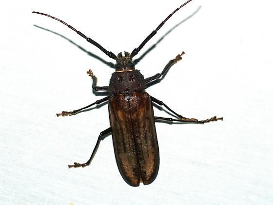 Ergates spiculatus neomexicanus - Trichocnemis spiculatus