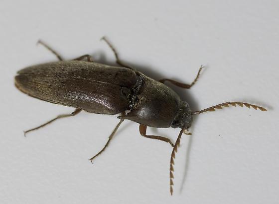 Medium large Click beetle - Diplostethus carolinensis