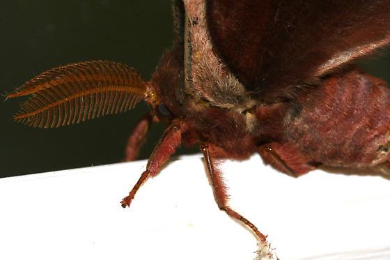Promethea Moth? - Callosamia angulifera - male