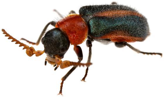Male, Collops? - Collops granellus - male