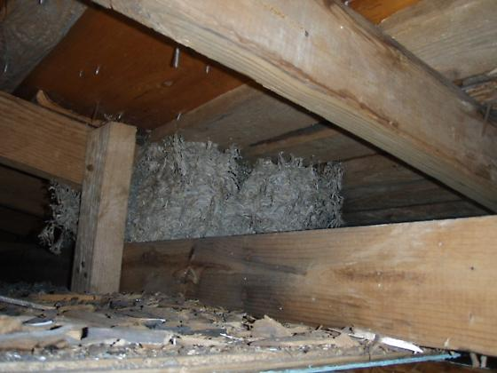 Nest Found in Rafters - Eastern Shore of Maryland - Vespula germanica