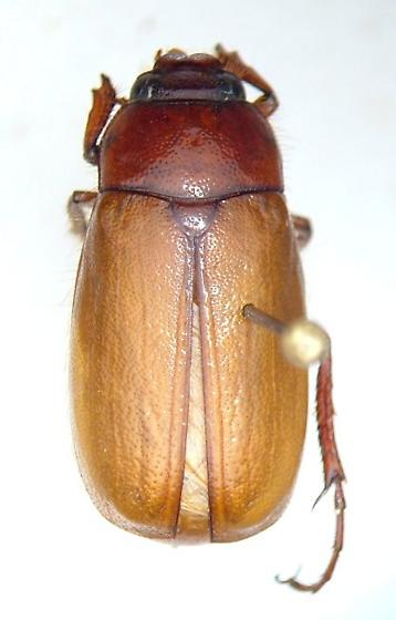 Phyllophaga obsoleta - male