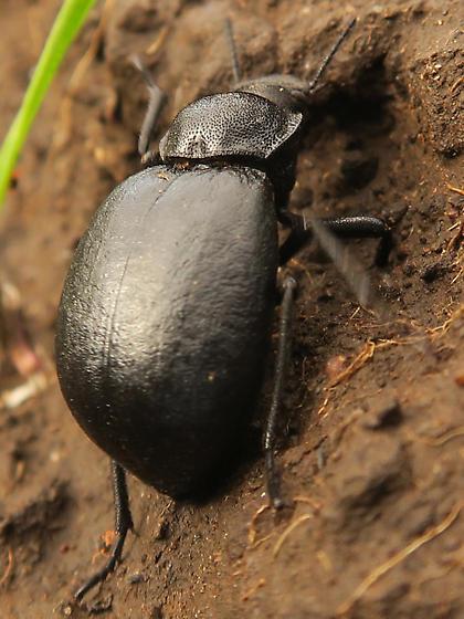 black beetle - Stenomorpha