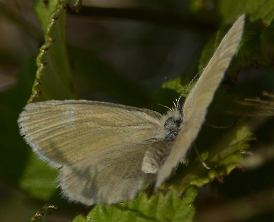 ochre ringlet butterfly? - Coenonympha tullia