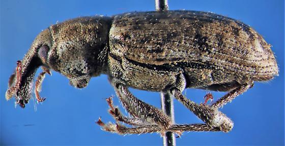Evil weevil - Listronotus