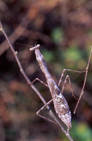 Mantid - Stagmomantis carolina - female