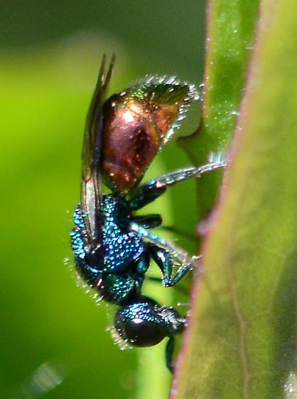 Cuckoo Wasp  - Pseudomalus auratus