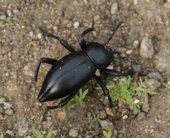 Small Darkling beetle - Eleodes acuticauda