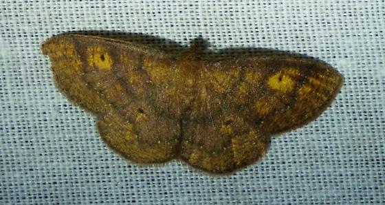 unknown moth - Ilexia intractata
