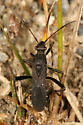 Broad-headed Bug - Alydus eurinus