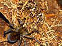 Hogna carolinensis At Burrow Entrance + Mating Attempt - Hogna carolinensis - male - female