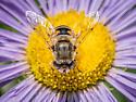Leafcutter bee? - Eristalis arbustorum
