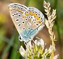 Small Spotted Butterfly - Polyommatus icarus