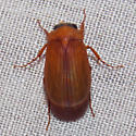 beetle  - Nipponoserica peregrina