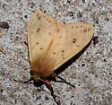 Isabella Tiger Moth - Pyrrharctia isabella