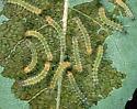 Spilosoma virginica