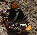Mixed species mating?